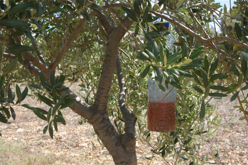 espagne – une mouche ogm pour sauver les oliviers ?…. – les