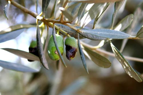 Une olive attaquée par Bactrocera oleae