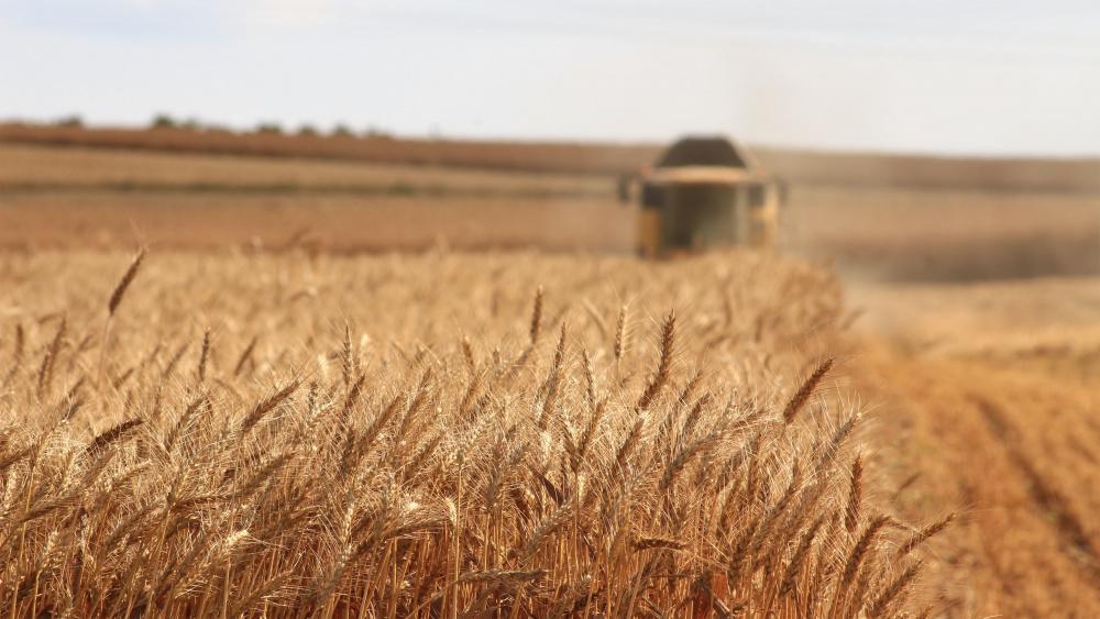 Le premier blé transgénique autorisé est argentin