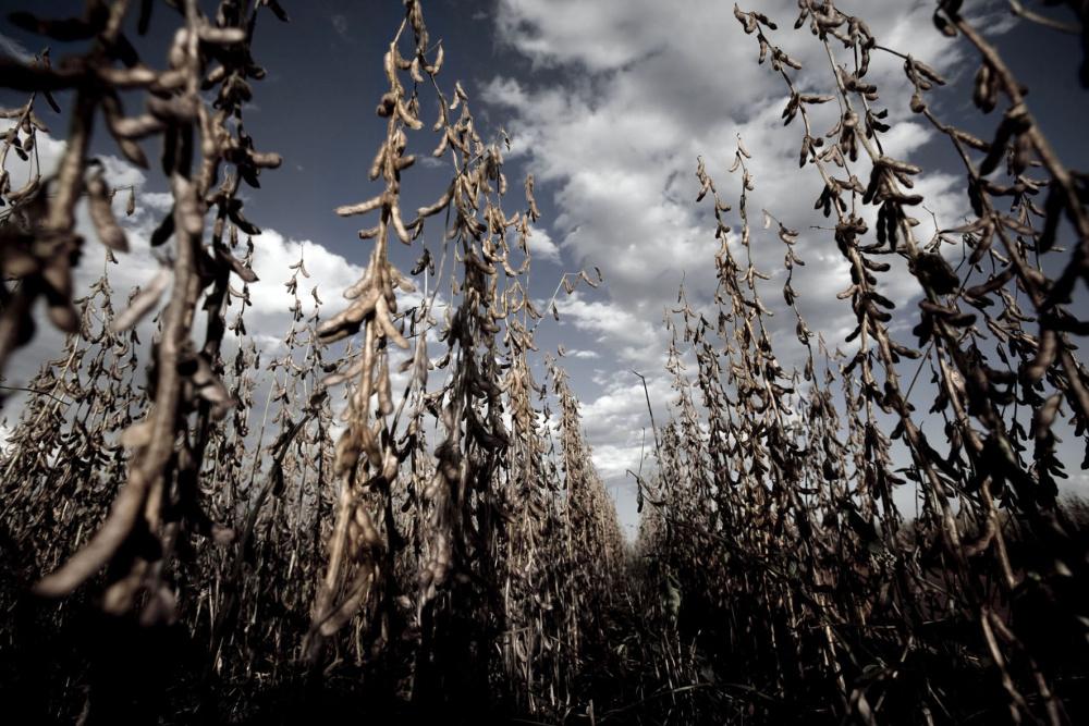 Équateur : un juge ordonne la destruction de soja transgénique