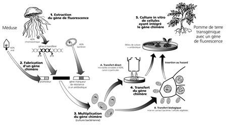 Qu Est Ce Qu Un Ogm Qu Est Ce Que La Transgenese Inf Ogm